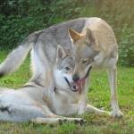 Сарлосская собака. Собака или волк?