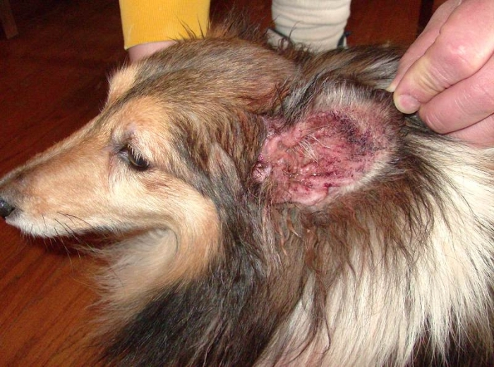 ушная аллергия у собак