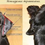 Когда и как купировать хвост у собаки
