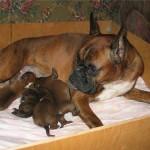 Собака в послеродовой период