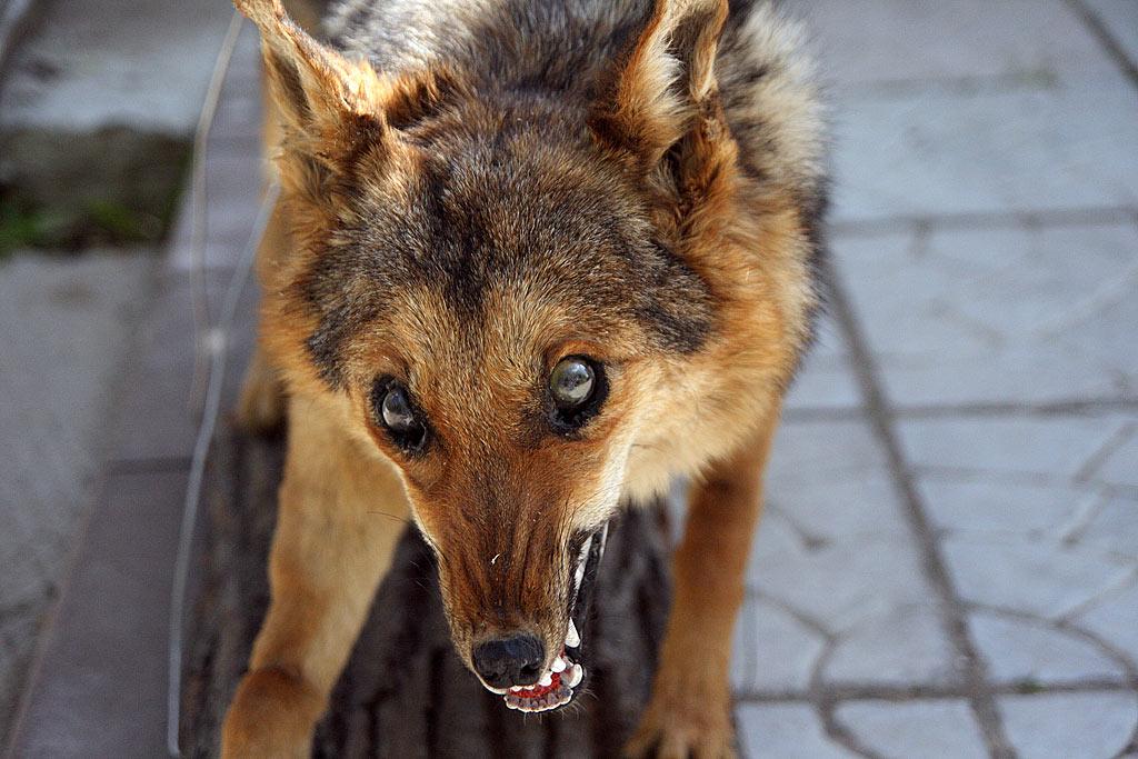 Бостон терьер фото собаки цена описание породы