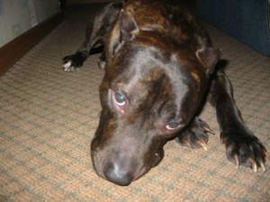 Симптомы и лечение клещей у собак
