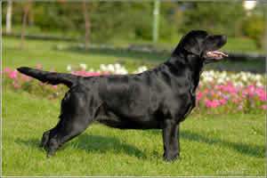 labrador-retriver-dog