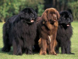 Порода собак Ньюфаундленд – описание, интересные факты