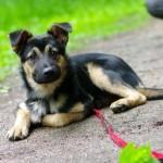 Дрессировка щенка от 4 до 6 месяцев
