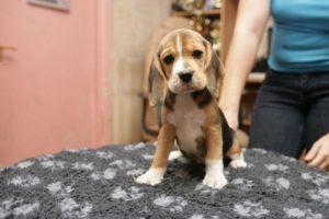 Что нужно знать при покупке щенка?