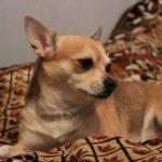 Покупка собаки породы чихуахуа – хороший друг и товарищ
