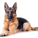 Надежда и опора: крупные и очень крупные породы собак