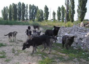 Stray_dogs_Rus