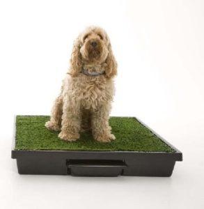 Собака и лоток: как приучить?