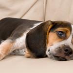 Профилактика глистов у собаки