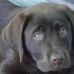 Собачья чумка — симптомы