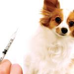 Как и когда надо делать прививки собакам от бешенства