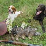 Стоит ли заводить охотничью собаку вместе с кошкой?