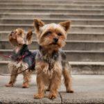 Как правильно воспитывать щенка йорка?