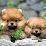 Померанский шпиц – собака для небольшой квартиры