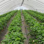 Технология выращивания в теплице огурцов