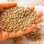 Семена конопли – ценный ингредиент кормов для животных